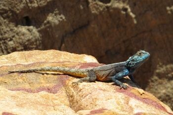 Blue-headed lizard (Agama atra) male sunning in Gordon\'s Bay